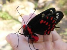 red black butterfly in hand